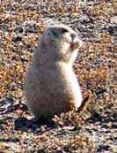 Prairie Dog - Theodore Roosevelt National Park