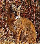 Big Bend Bobcat