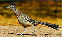 Big Bend Roadrunner