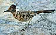 Roadrunner - Big Bend National Park - Texas