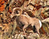 Bighorn Sheep - Nevada