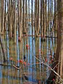 Cypress Reflection - Bluff Lake Boardwalk