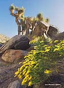 Brittlebush and Joshua Tree - Death Valley National Park, California
