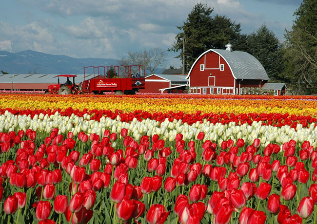 Skagit Valley Tulips - Mount Vernon, Washington