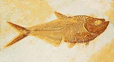 Diplomystus (Fossil Fish) Green River Formation, WY