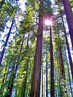 Giant Redwoods - Humbolt County, California