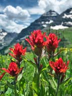 Indian Paintbrush - Snowmass-Maroon Bells Wilderness, Colorado