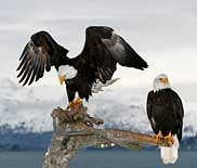 Kenai Peninsula Bald Eagles