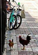Mallory Square  Bikes & Chickens