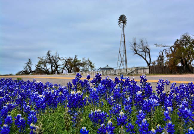 Texas Bluebonnets - State Flower of Texas - Willow City Loop, Gillespie County