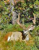 Mule Deer in Velvet - Sierra National Forest, CA