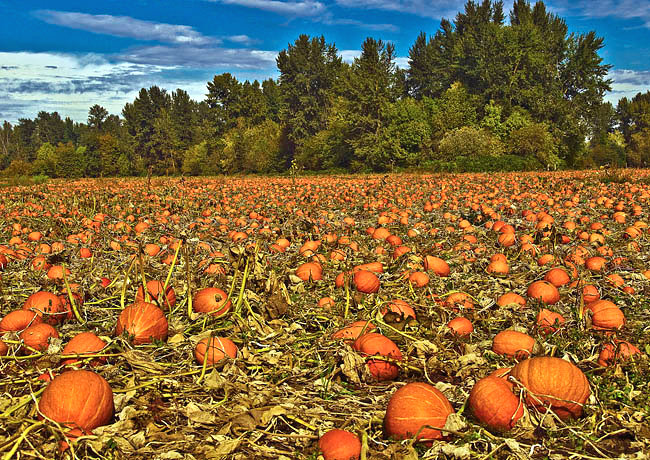 Linn County Pumpkin Patch - Oregon