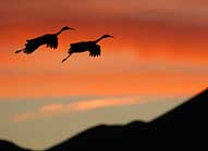 Sandhill Cranes in Flight- Bosque del Apache National Wildlife Refuge, New Mexico