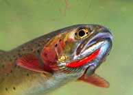 Cutthroat Trout - Yellowstone National Park