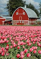 Skagit Valley Tulip Farm - Mount Vernon, Washington