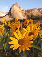 Sundial wildflowers - Uinta-Wasatch-Cache National Forest, Utah