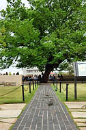 Survivor Tree - American Elm, Oklahoma City National Memorial