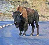 Buffalo - Theodore Roosevelt National Park