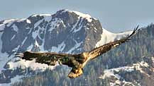 Eagle - Tongass National Forest, Alaska