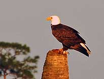 Bald Eagle - Ritch Grissom Memorial Wetlands, Viera, Florida