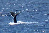 Whale Sightings - a telling tail