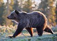 Yellowstone Grizzly - photo courtesy NPS